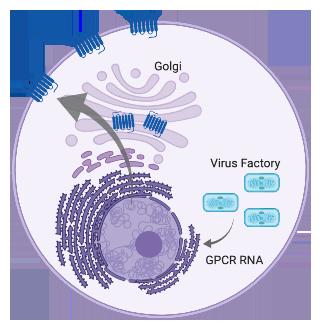 VacciniaLifeCycleGPCRnoEEV